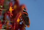 Red Admiral - side face
