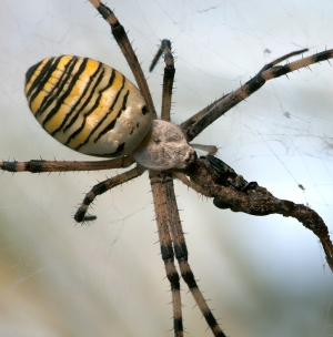 Wasp Spider - English Breakfast