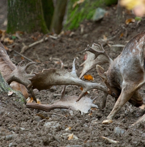 Fallow Deer - The Fight