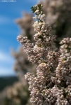 Erica Arborea / tree heath